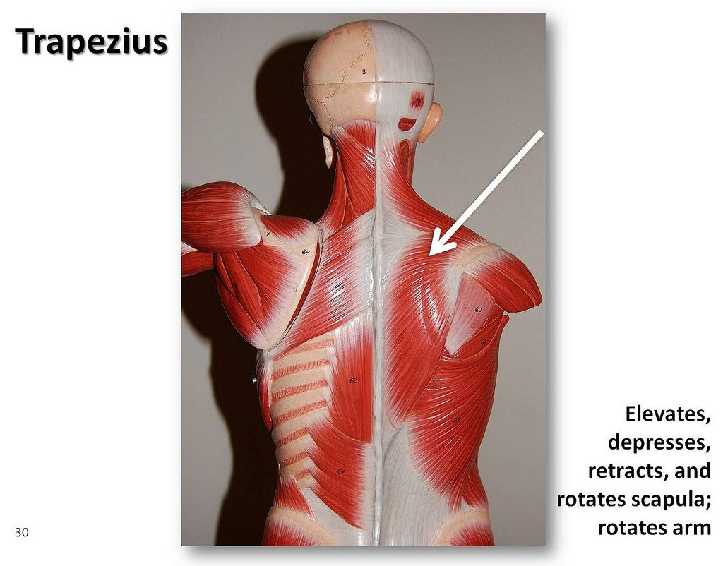 Trapezius muscle diagram
